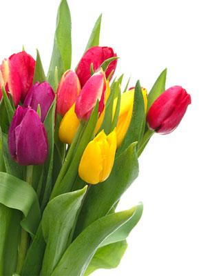 Tulipany+zdjecia